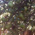 windsor-pears
